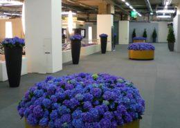 blauwe hortensia's