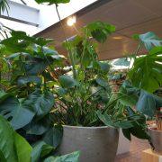 groene planten, kamerplanten, monstera, urban jungle
