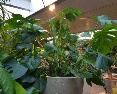 groene planten, kamerplanten, monstera, urban jungle